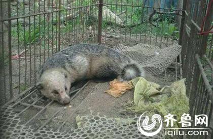 泰安一农家乐捕获野生獾 爱心人士联合放生