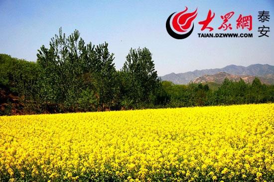 泰安市岱岳区黄前镇马蹄裕村的遍地油菜花.(拍客 王志新 摄)