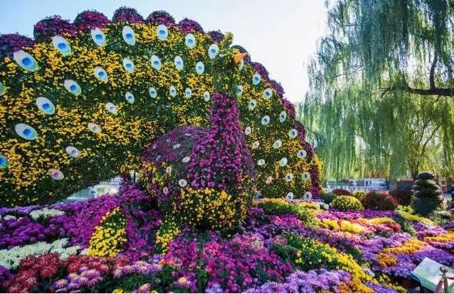 """菊花艺术节期间,各种样式的菊花造型展将同期亮相泰山花海,""""金龙迎宾"""""""