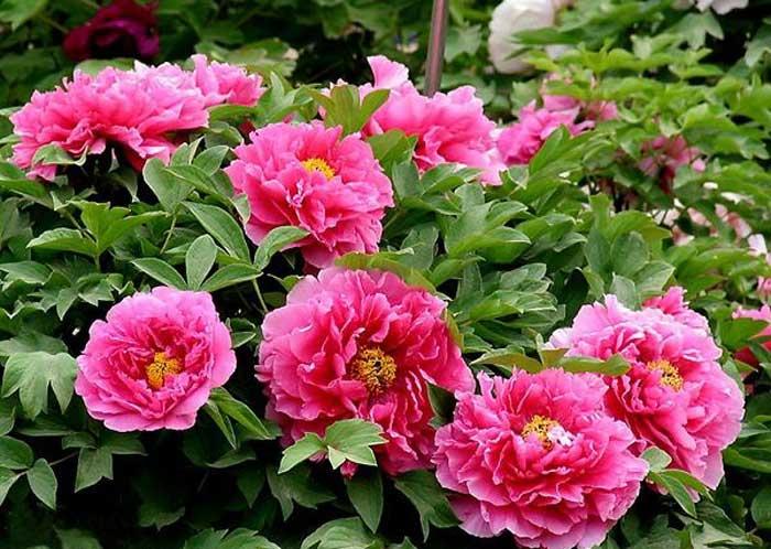 牡丹花:花开时朵朵雍容,尽显富贵.