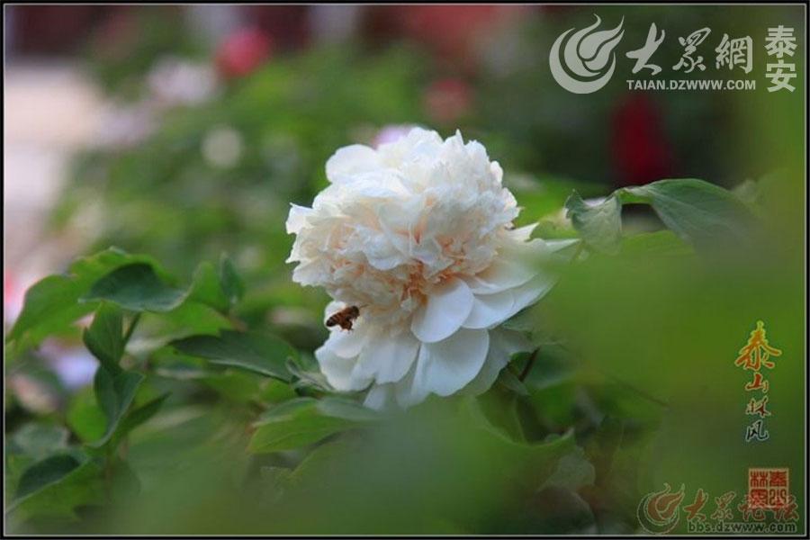 """花时须是牡丹时。(大众网拍客""""林.风"""")"""