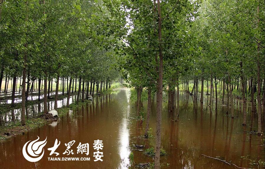 大众网泰安6月15日讯(记者 赵伟)6月13日晚间开始,泰安肥城市迎来两次强降水过程。因强风、暴雨、冰雹天气,肥城石横镇农大片农作物受灾。