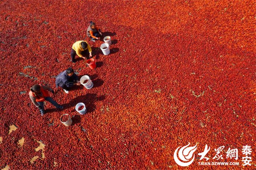 在中华文化中,红色意味着红火、喜庆。金秋十月,宁阳的枣树种植户们迎来了丰收季。枣农们将成熟的枣收集起来集中晾晒,村里到处铺满了喜气的红色。