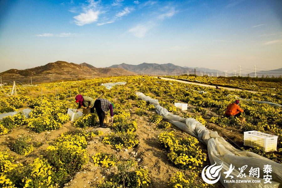 """11月7日,""""双十一""""即将来临,山东省泰安市,一家有机菊花生产基地进入一年中最忙时期,数百个农民正在开足马力加班加点采摘菊花。 大众网发 实习记者 李继泽"""