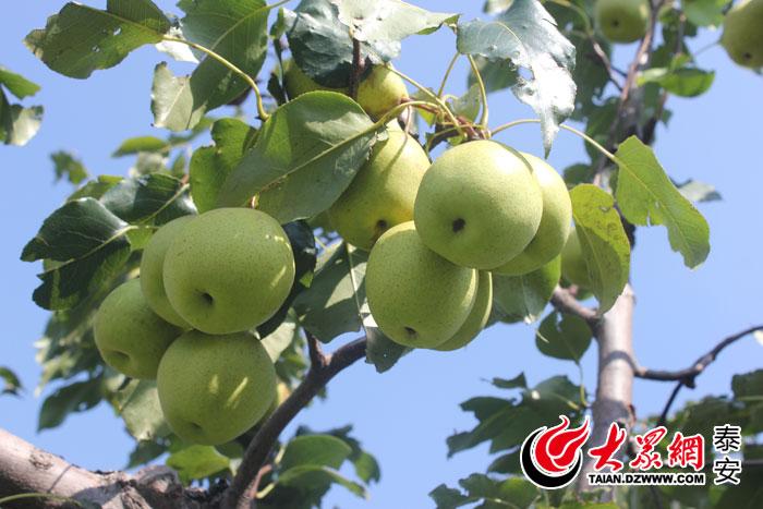 """只要有销路,一株株的梨树就是扶贫致富的""""摇钱树"""",就能结出名副其实的"""